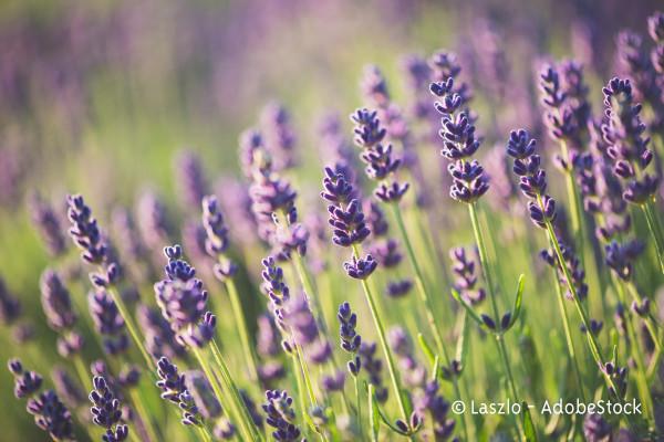 Raps Lavendel Augenkissen