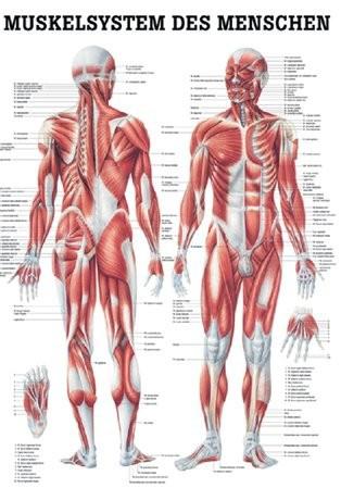 Muskelsystem des Menschen