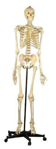 Homo-Skelett