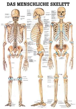 Das Menschliches Skelett